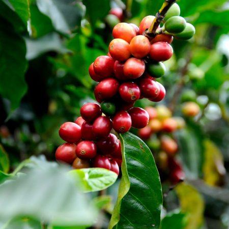 santorino coffee veggies coffee beans