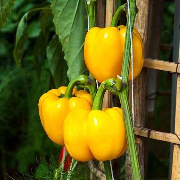 Yellow-bell-Peppers – Ot chuong vang