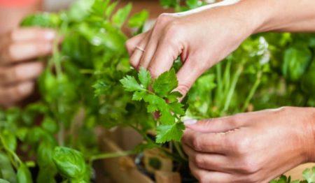 Ngò tây đem lại rất nhiều lợi ích cho sức khỏe: