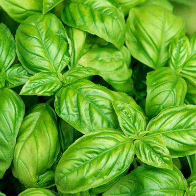 que-tay-basil-leaf-rau-gia-vi