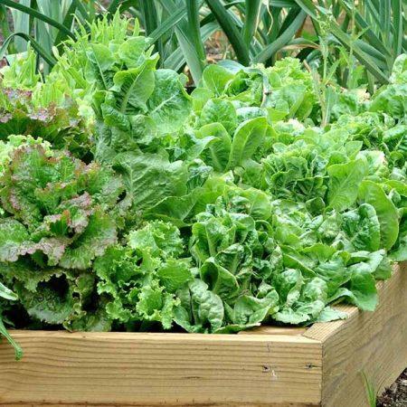 xa lach lolo - Lollo green lettuce garden- Santorino