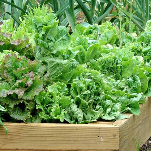 xa lach lolo – Lollo green lettuce – Santorino