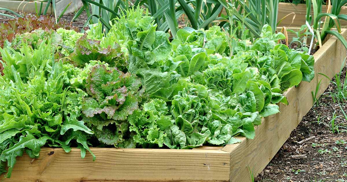 xa lach lo lo xanh - Lollo green lettuce - Santorino