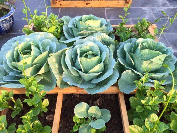 các loại rau dễ trồng trong sân vườn santorino coffee & veggies