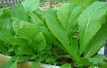cách trồng rau tại nhà santorino coffee & veggies