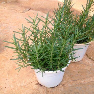 Kiến thức về cây Rosemary và những tác dụng của nó đến cuộc sống