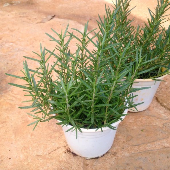 Rosemary - santorino.org