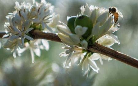 mật ong hoa cà phê blossom coffee honey