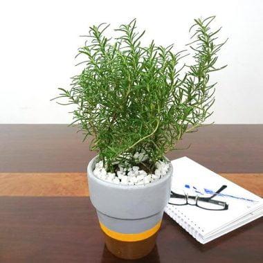 Rosemary là gì ? khám phá bí ẩn của cây hương liệu Rosemary