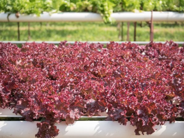 hydroponic-vegetable-cultivation-farm-hydroponic-red-lollo-rosso-lettuce