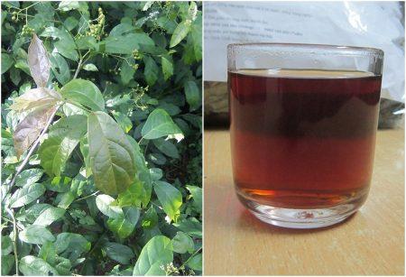 cây xạ đen santorino